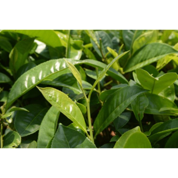 camelia-sinensis_pflanze.jpg_w413.png