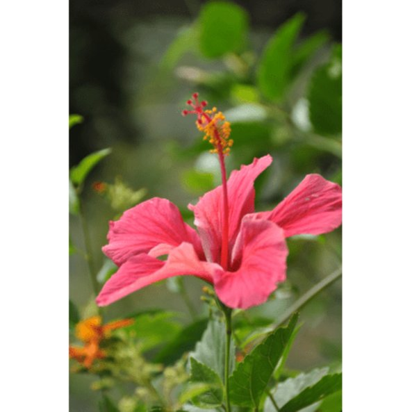 hibiskus_pflanze_mexico-1.jpg_w413.png